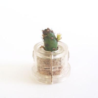 Babyplante Golden Marble Mini plante cactus porte clé personnalisable
