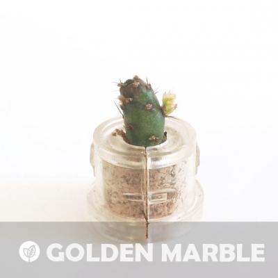 Babyplante Golden Marble - Mini plante cactus