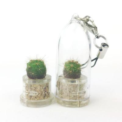 Baby plante mini cactus petite succulente porte clé - Pink Jade (Sedum rubrotinctum R.T. Clausen) - pet tree