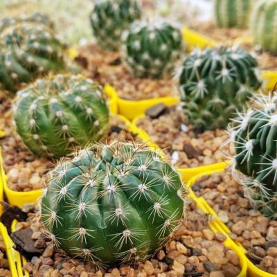 Cactus Parodia Notocactus Ottonis Echinocactus Malacocarpus Peronocactus Cactaceae