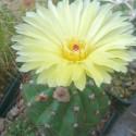 Baby plante mini cactus petite succulente porte clé - Snow Cactus (Mammillaria gracilis) - pet tree