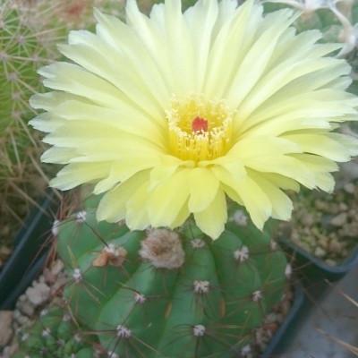 Cactus Parodia Notocactus Ottonis floraison fleurs jaunes