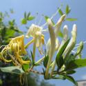 Baby plante mini plante cactus porte clé - Rock Flower (Orostachys Japonica) - pet tree