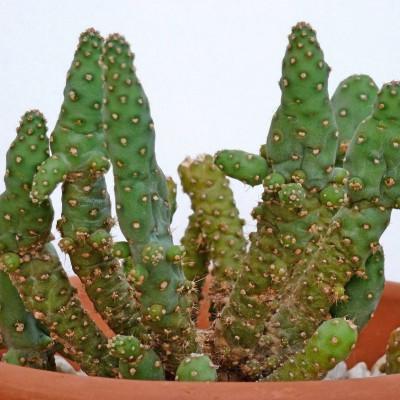 Babyplante Golden Marble Opuntia monacantha - Mini plante cactus