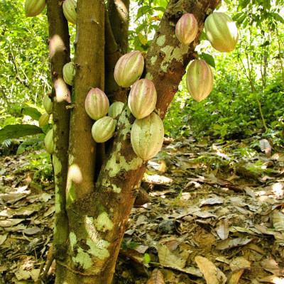 Cacaoyer, Cocoa, Cacao, Arbre à chocolat, chocolate tree, God's tree, pyé kako, gwo kako, Theobroma, Sterculiaceae