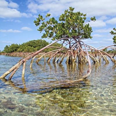 Palétuvier rouge, mangle-chandelle, Rhizophora mangle, Arbre roi de la mangrove, tiri wai, togo, apareiba, candelón