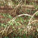 Baby plante mini cactus petite succulente porte clé - Cupid Wings (Adromischus Clavifolius) - pet tree