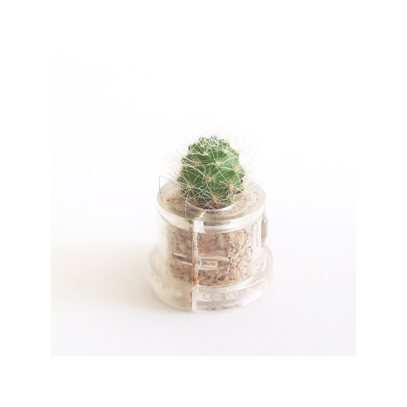 Babyplante Green Jewel (Rebutia minuscula) - mini plante cactus