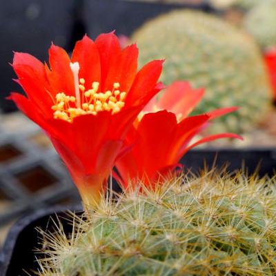 Babyplante mini plante cactus Rebutia minuscula fleurs