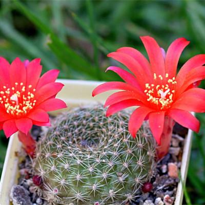 Babyplante mini plante cactus Rebutia minuscula floraison