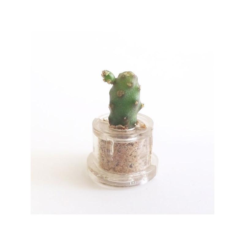 Babyplante Little Baobab - Mini plante cactus