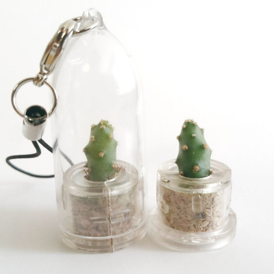 Babyplante Little Baobab - Mini plante cactus Opuntia spinosissima