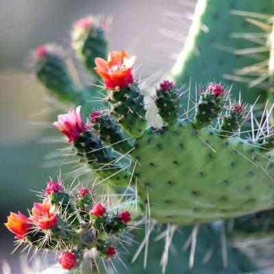 Cactus Opuntia spinosissima ou Consolea spinosissima ou Opuntia corallicola