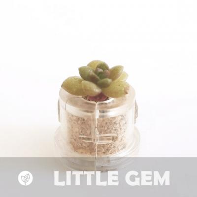 Babyplante Little Gem mini plante cactus