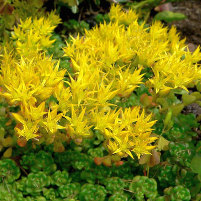 Cactus plante succulente Sedum ou Orpin floraison