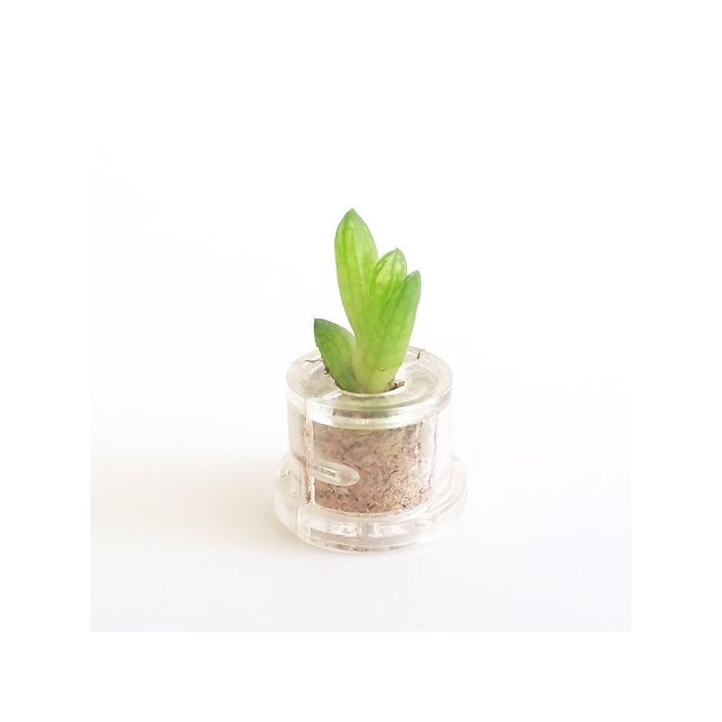 Babyplante Minibocho (Haworthia cooperi var. truncata) - Mini plante cactus