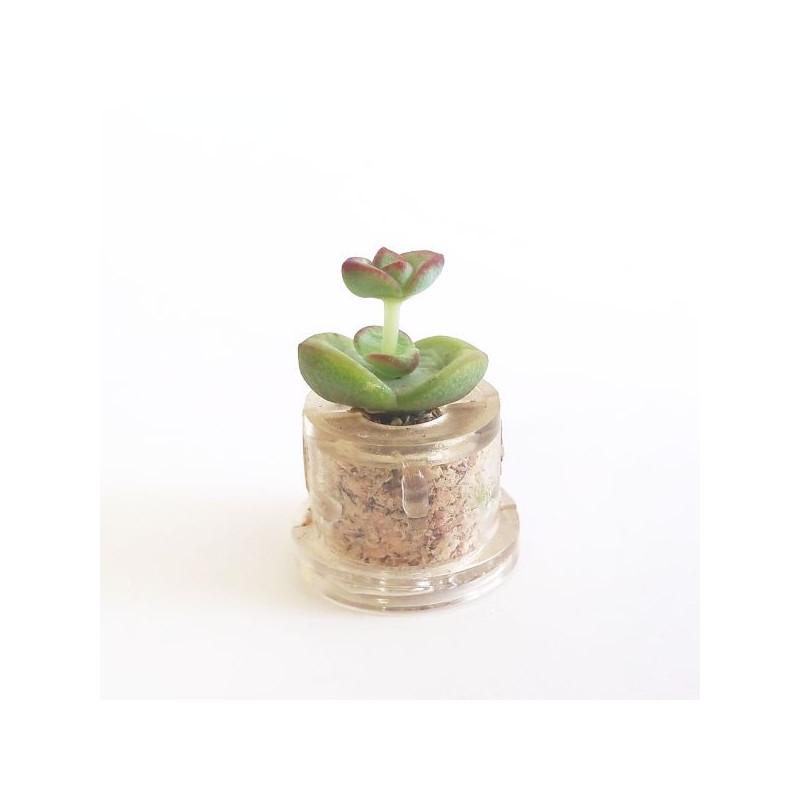 Babyplante Nymph's tulip (Crassula rupestris Hottentot) - Mini plante cactus