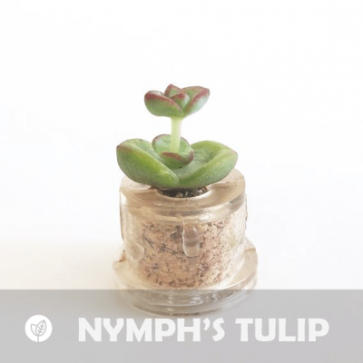Babyplante Nymph's tulip porte clé mini plante cactus