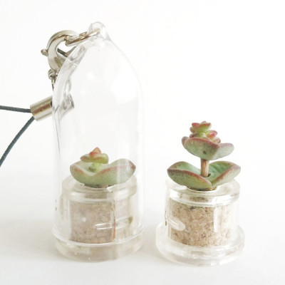 Babyplante Nymph's tulip (Crassula rupestris Hottentot) - Mini plante cactus porte clé