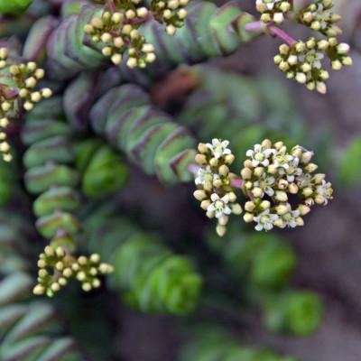 Cactus succulente Crassula rupestris Hottentot fleurs