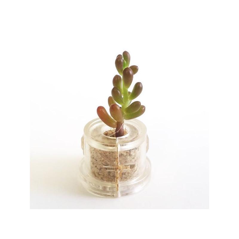 Babyplante Pink Jade - Mini plante cactus Sedum rubrotinctum R.T. Clausen