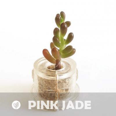 Babyplante Pink Jade (Sedum rubrotinctum R.T. Clausen) - Mini plante cactus