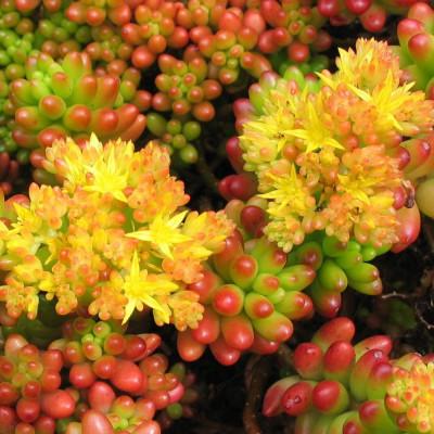 Plante cactus Sedum rubrotinctum R.T. Clausen en fleurs