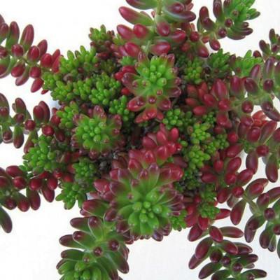 Cactus Sedum rubrotinctum R.T. Clausen