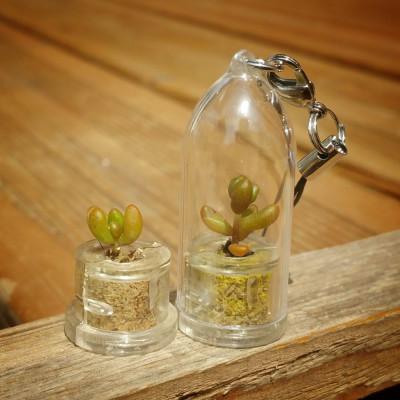 Babyplante Pink Jade - Mini plante porte clé - cactus Sedum rubrotinctum R.T. Clausen