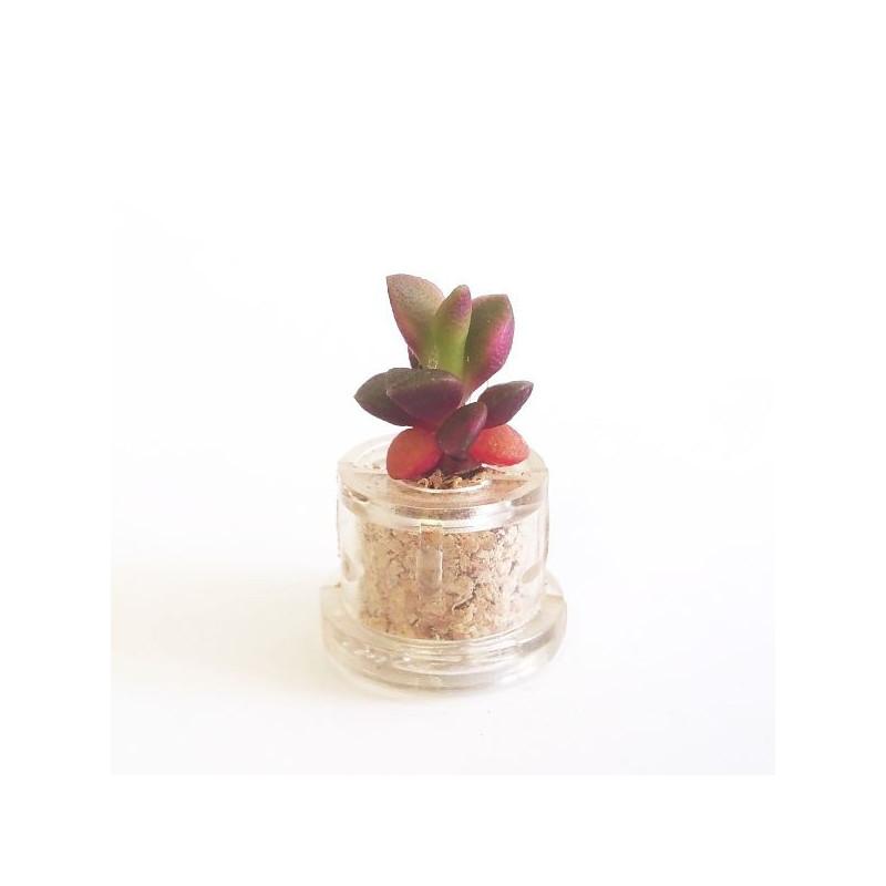 Babyplante Stone Rose (Anacampseros rufescens)