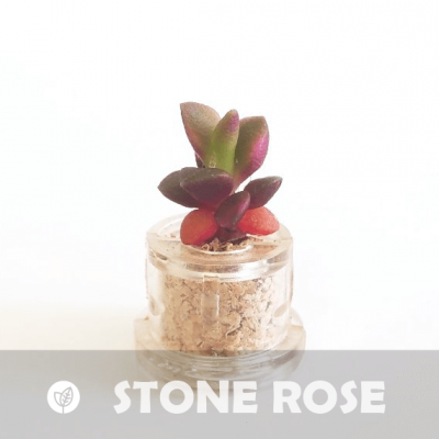 Babyplante Stone Rose mini cactus Anacampseros rufescens
