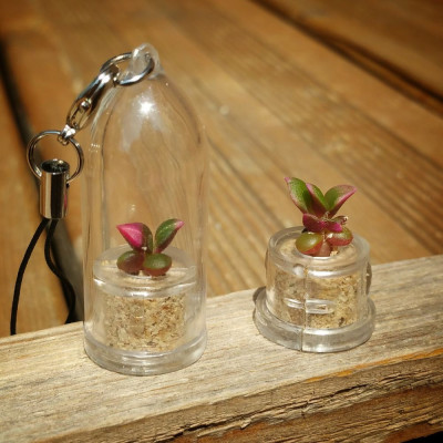 babyplante Stone Rose - mini plante cactus Anacampseros rufescens