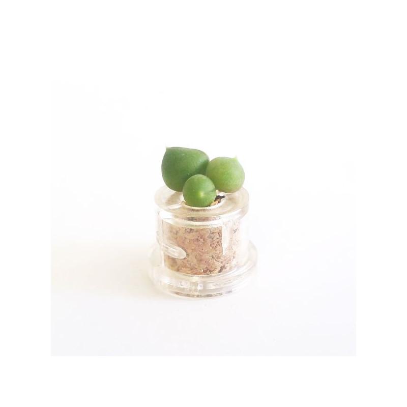 Babyplante String of Pearls - Mini plante cactus succulente
