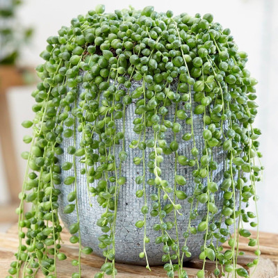 Senecio rowleyanus ou Kleinia rowleyana ou Kleinia rowleyanus - Plante collier de perles, Kleinia à groseilles