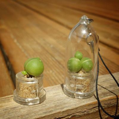 Babyplante cactus String of Pearls - Mini plante Senecio rowleyanus - porte clé