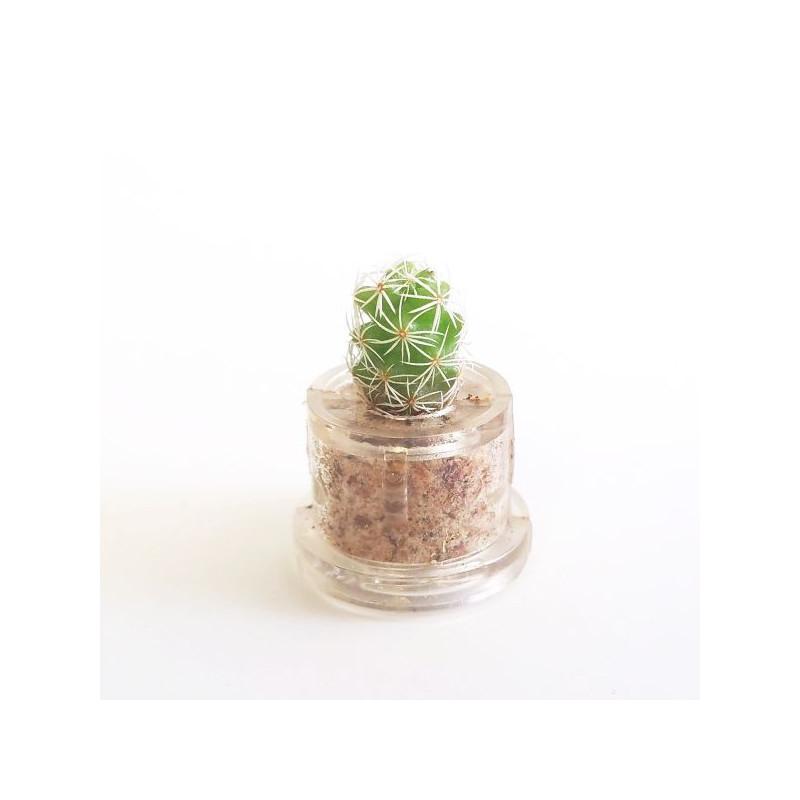 Babyplante Snow Cactus mini plante cactus