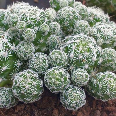 Cactus Mammillaria gracilis - Cactus de dé à coudre