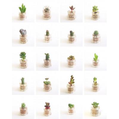 Babyplante CHANCE sélectionnée au hasard parmi les variétés en stock - mini plante cactus petite succulente porte clé pet tree