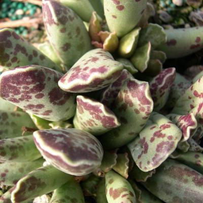 Cactus Adromischus clavifolius cooperi