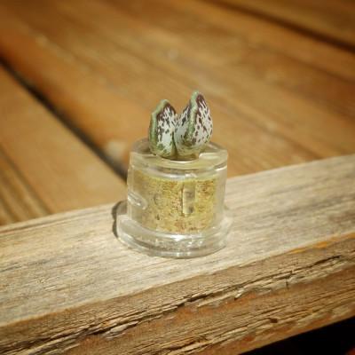 Babyplante Cupid Wings petite plante mini cactus Adromischus clavifolius
