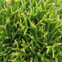 Aurora cactus (Mammillaria prolifera)