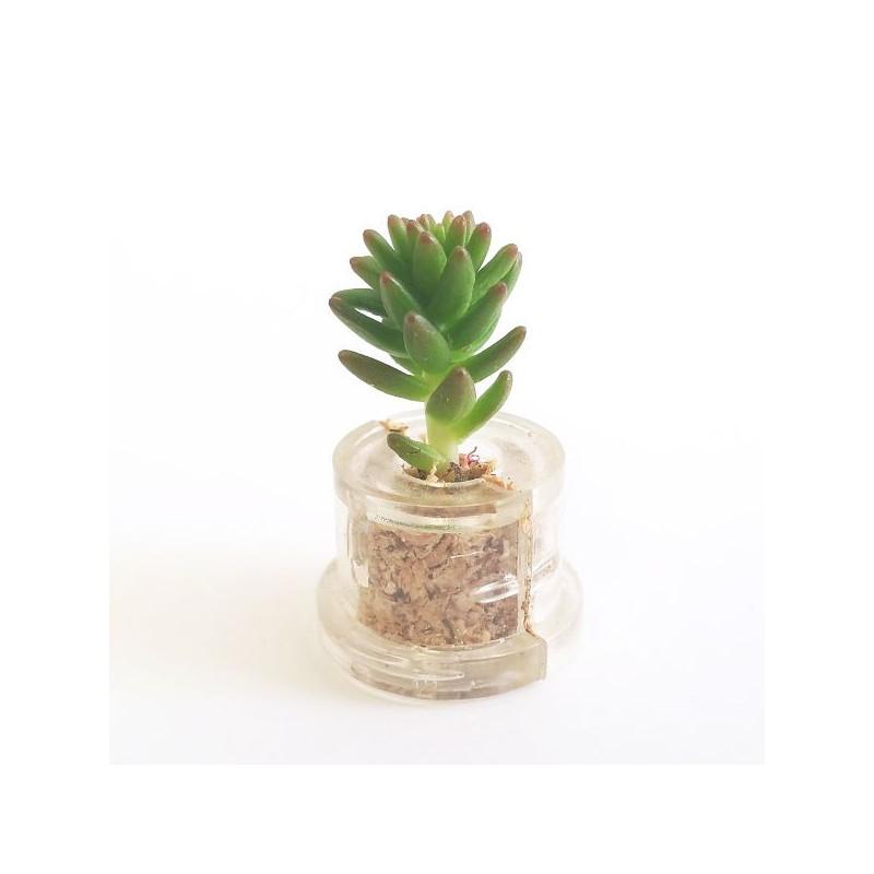 Babyplante Green Pet Sedum spiral staircase
