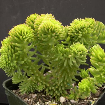 Plante cactus Sedum spiral staircase