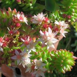 Sedum spiral staircase fleurs