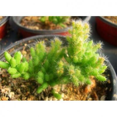 Une fois trop grand pour la capsule de babyplante, vous pouvez replanter votre mini Rhipsalis burchelli dans un pot