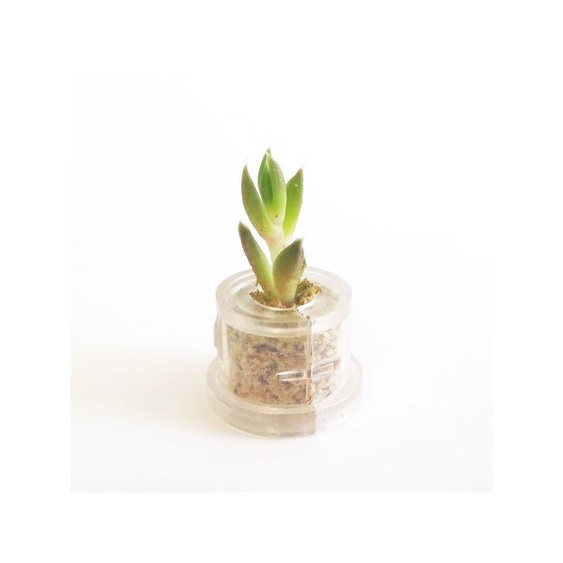 Babyplante Rock Flower mini plante cactus Orostachys Japonica