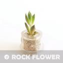 60 graines Echeveria (echeveria agavoide)
