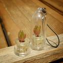 1 graine Rose du désert (adenium obesum)