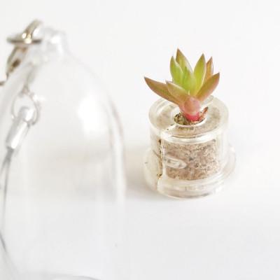 mini plante Babyplante Rock Flower cactus Orostachys Japonica