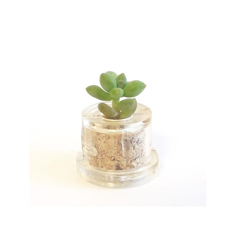 Babyplante Neo Angel - Mini plante cactus